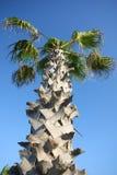 Znany drzewko palmowe Zdjęcia Stock