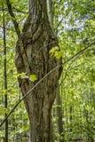 Zniekształcający drzewo obrazy royalty free