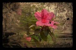Zniekształcający lilly fotografia royalty free