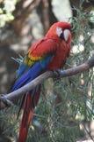 Zniewalająca fotografia szkarłatny ary papugi obsiadanie Obrazy Royalty Free