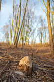 Zniszczony drzewo Zdjęcia Stock