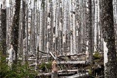 Zniszczony las, mnóstwo nieżywi drzewa Fotografia Stock