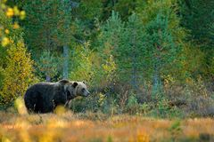 Znosi chowanego w żółtych lasowych jesieni drzewach z niedźwiedziem Piękny brown niedźwiedź chodzi wokoło jeziora z spadków colou zdjęcia royalty free