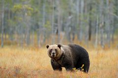 Znosi chowanych chodzących żółtych lasowych jesieni drzewa z niedźwiedziem Piękny brown niedźwiedź chodzi wokoło jeziora z spadkó zdjęcia royalty free