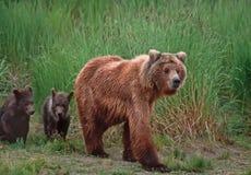 znosi grizzly Obrazy Stock