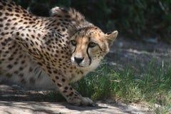 Znużony Przysiadły gepard na Płaskiej skale obraz stock