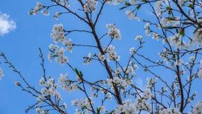 Zo mooi zoals Cherry Blossom Stock Afbeeldingen