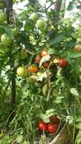 Zo rijpe tomaten stock afbeelding