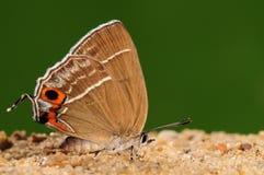 Zoa/farfalla di Chrysozephyrus su terra Immagini Stock Libere da Diritti