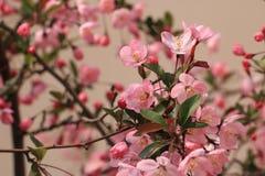 Zoals de brand van Begonia Royalty-vrije Stock Fotografie