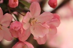 Zoals de brand van Begonia Royalty-vrije Stock Afbeeldingen