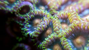 Zoanthid Royalty Free Stock Photography