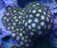 Zoanthid coral. A detail of a zoanthid coral underwater in the sea Royalty Free Stock Image
