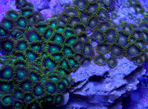 Zoanthid coral. A detail of a zoanthid coral underwater in the sea Royalty Free Stock Images
