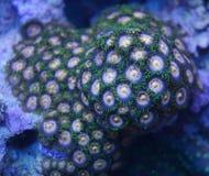 Zoanthid korall Royaltyfri Bild