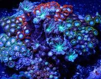 Zoanthid mjuk korall royaltyfria foton