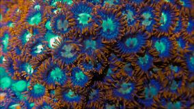 Zoanthid soft coral colony. Orange and blue zoanthid coral colony underwater stock video footage