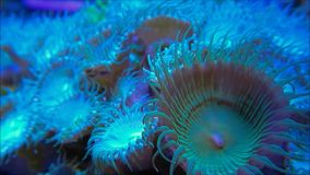 Zoanthid soft corals. A close up macro of a soft zoanthid coral in the water stock footage