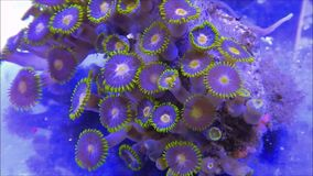 Zoanthid soft corals. In a coral reef aquarium stock video footage