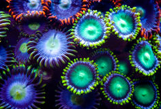 Zoanthids images stock