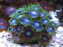 Zoanthids Photographie stock
