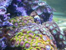 Zoanthids Stock Photos