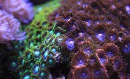 Zoanthids Stock Afbeeldingen
