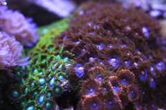 Zoanthids Stock Image