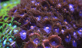 Zoanthids Royalty Free Stock Photos