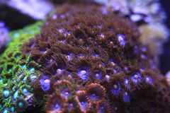 Zoanthids Stock Photography
