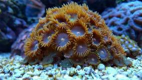 Zoanthids-Polypen korallenrot Lizenzfreie Stockfotos