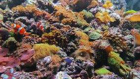 Zoanthus SP και κολυμπήστε του μήκους σε πόδηα κλόουν anemonefish απόθεμα βίντεο