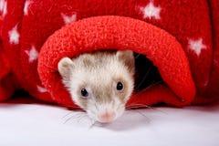 Zobel-Frettchen, das aus rotem Stern-Spielzeug heraus späht lizenzfreies stockbild