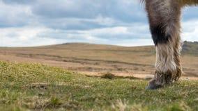 Zoccoli dei cavalli su Dartmoor Fotografia Stock