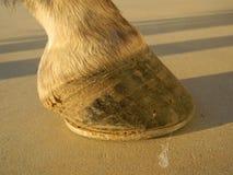 Zoccolo del cavallo con la scarpa Fotografia Stock Libera da Diritti