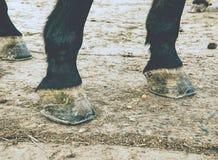 Zoccolo unshod del cavallo Il cavallo vive sul prato potrebbe essere senza a piedi nudi fotografia stock