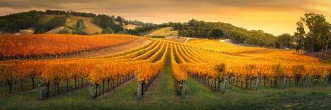 Złoci winogrady Obraz Stock