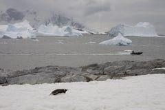 Zodiac som undersöker hav, Antarktis. arkivfoton