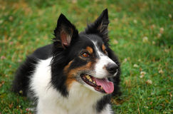 Zodiac. Tricolor Border collie watches lies in a grassy field looking up at his handler who is just out of the frame Royalty Free Stock Image