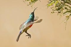 Zoemend vogel tijdens de vlucht, Zuid-Afrika stock foto
