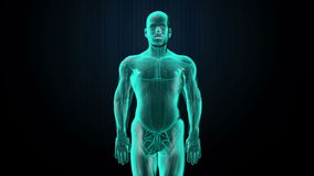 Zoemend voorlichaam en aftastend hart Menselijk cardiovasculair systeem, Blauw Röntgenstraallicht royalty-vrije illustratie