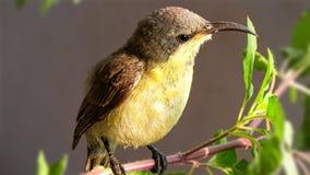 Zoemende vogel Stock Foto