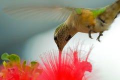 Zoemende vogel en bloem Stock Afbeelding