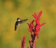 Zoemende vogel bij rode bloem Stock Afbeeldingen