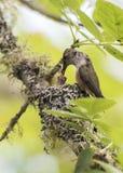 Zoemende vogel die haar jongelui voeden Stock Foto