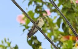 Zoemende vogel die 2 rusten Stock Afbeeldingen
