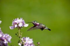 Zoemende vogel met bloemen Stock Foto's
