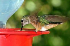 Zoemende Vogel met vleugels het uitgespreide drinken van voeder Stock Fotografie