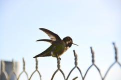 Zoemende Vogel op Omheining Royalty-vrije Stock Afbeeldingen