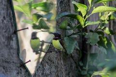 Zoemende vogel zich bekijken/Zoemende vogel die verward kijken Stock Afbeeldingen